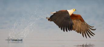 Fish Eagle by Isak Pretorius Wildlife Photography