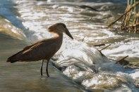 Hamerkop at River Crossing - Londolozi