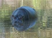 hippo-in-delta