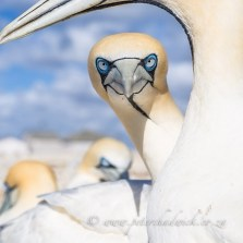 I am watching you! A Cape Gannet peers past its partner while being photographed at its breeding colony on Malgas Island, West Coast National Park, South Africa
