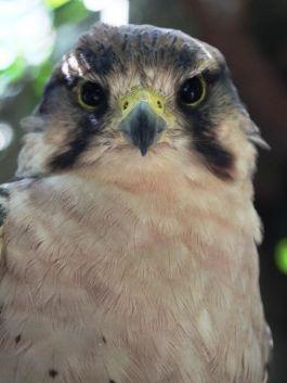 Lanner Falcon (Falco biarmicus)