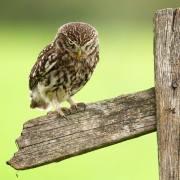 Little Owl - Athene noctua - by Mark Bridger