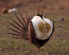 Male Sage-Grouse