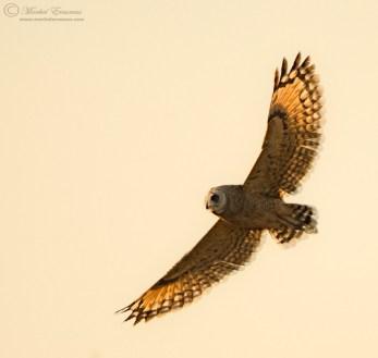 Marsh Owl by Morkel Erasmus