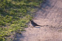 Namaqua-dove -- 30Sept12 Londolozi