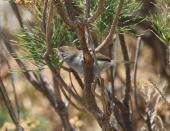 Neddicky (Cisticola fulvicapilla)