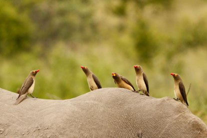 Rare yellowbilled oxpecker amongst its red-billed cousins