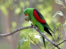 RED WINGED PARROT