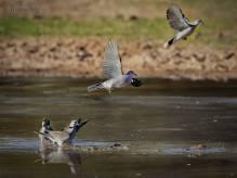 Ring-necked Dove (Streptopelia capicola)
