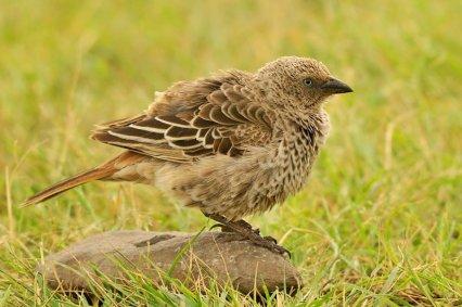 Rufous -tailed Weaver - Histurgops ruficaudus © by Bartosz Budrewicz