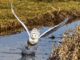 snowy-owl-flight_55586_990x742