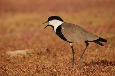 Spur-winged Plover - Vanellus spinosus © by Bartosz Budrewicz