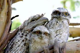 Tawny Frogmouths By Gillian Roberts