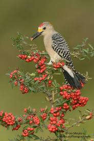 The Golden-fronted Woodpecker - Melanerpes aurifrons - is a North American woodpecker