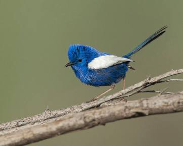 The White-winged Fairywren - Malurus leucopterus - lives in the drier parts of central Australia - by John Thornton