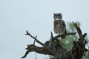 Verrauxa Eagle Owl at Londolozi