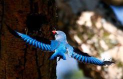 Woodland Kingfisher (2)