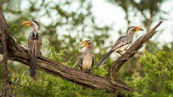 yellow billed hornbills