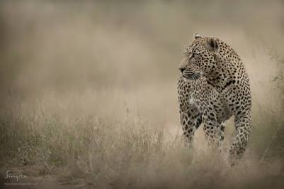 A male leopard pauses to listen to a group of impala's alarm calling in the distance. The possibility of another predator in the area.
