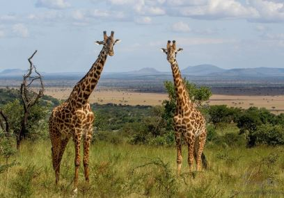 A small group of male giraffe are often on the side of the access road connecting Singita Sasakwa Lodge at the top of the hill to the plains below.