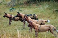 African Wild Dogs - Lycaon Pictus