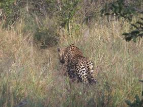 Kashane hunting warthogs