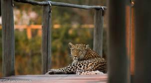 Legedema the leopard on the boardwalk