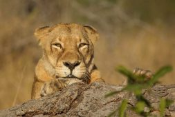 One of the tsalala females peering at us over a fallen over tree
