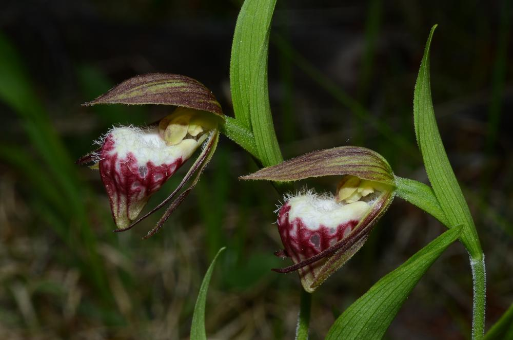 Image result for Cypripedium arietinum