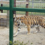 Tiger World: a growing conservation park dedicated to education and love of animals