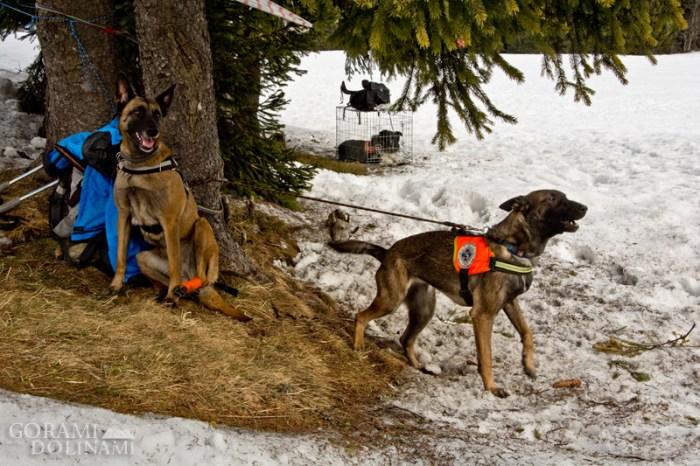 Psy lawinowe, owczarki belgijskie