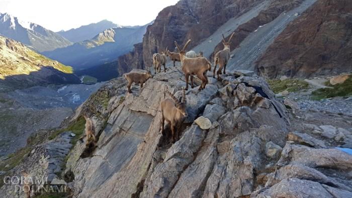 Mezzalama, kozice alpejskie