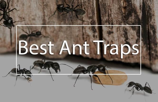 Ant Control Using Essential Oils