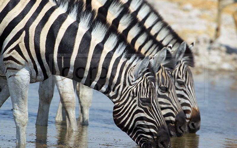 Zebras drink at the Kalkeuwel Waterhole