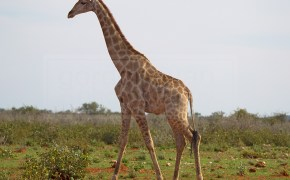 giraffe walks in the grassy plains