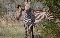 Plains Zebras take a peak from behind the brush