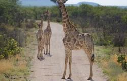 A giraffe family blocks the road