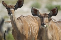 Kudu's look up