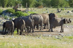 A herd of elephant