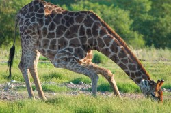 A giraffe gets down low to drink from the Goas Waterhole