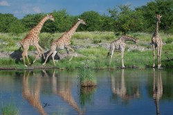 Several giraffes scurry away from the Nuamses waterhole