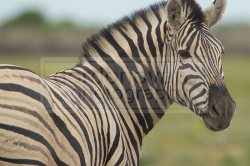 zebra turns and poses for the camera