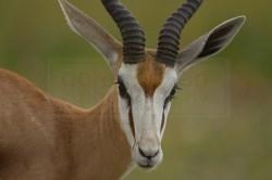 springbok poses