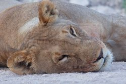 A lioness rests along the side of the main road