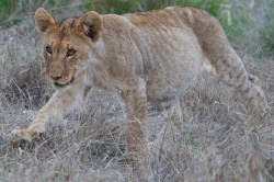 lion cub walks in the grass