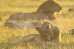 lion does some grooming in the grass