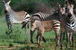 Zebra's mingle