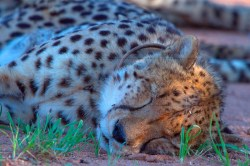 A cheetah naps under a tree