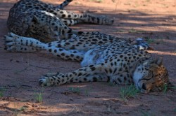 Two cheetahs nap under a tree at the Okonjima Game Reserve