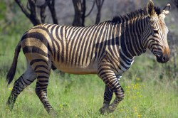 A zebra trots away from the vehicle